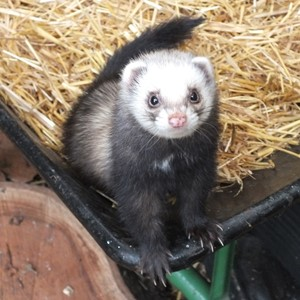 Ferret on wheelbarrow