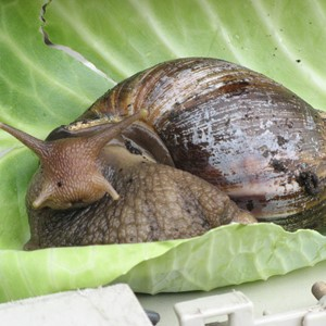 Giant Africa Land Snail
