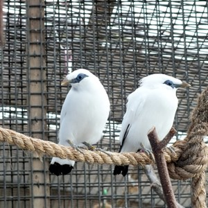 Bali Starlings together
