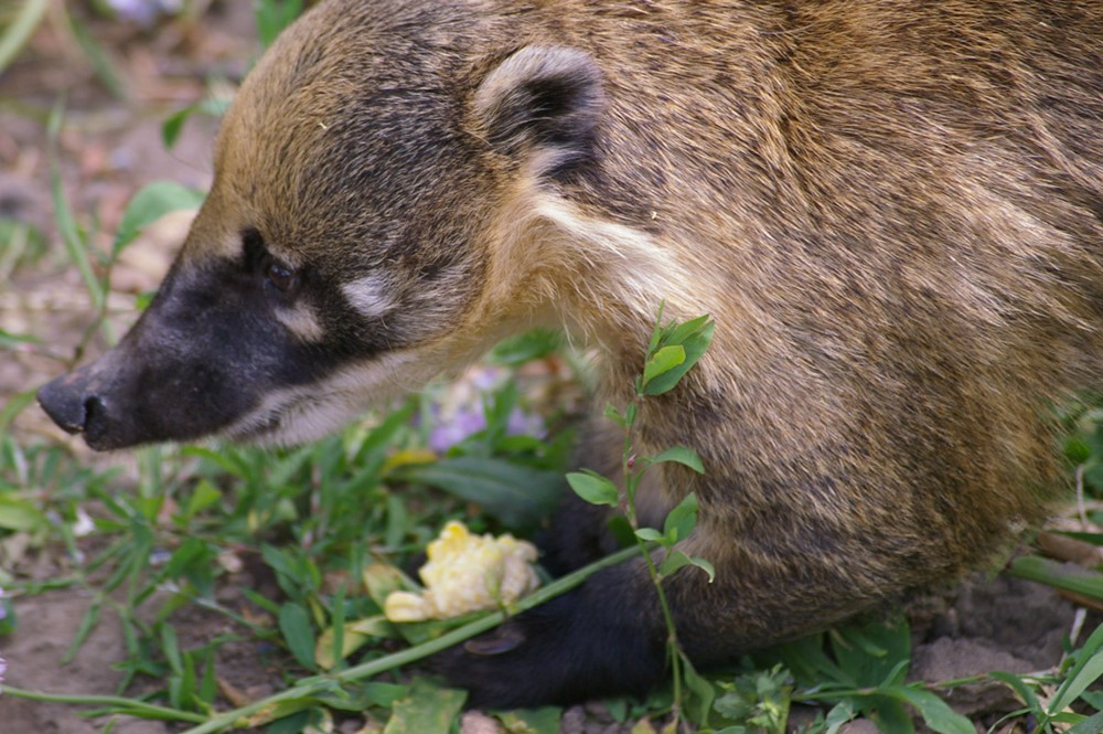 Ring Tailed Coati Latin Name