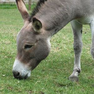 Smoky the donkey