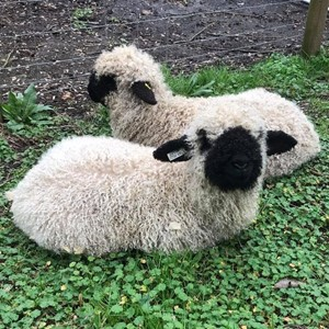 Swiss Valais Blacknose Sheep