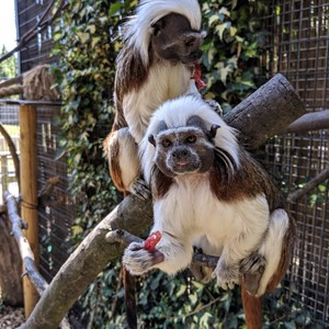 Zoo News Cotton Top Tamarin Arrival