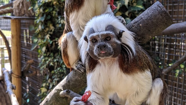 New Arrivals: Critically Endangered Cotton Top Tamarins!
